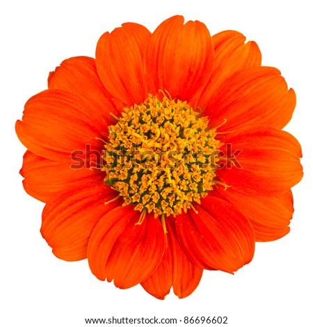 The orange flower isolated on white background - stock photo