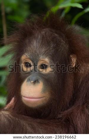 the orangutan.  - stock photo