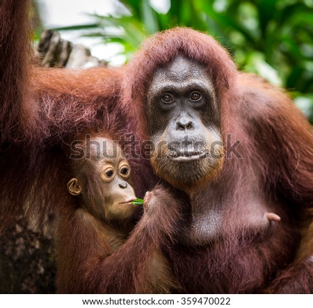 The orangutans are the two exclusively Asian species of extant great apes. Native to Indonesia and Malaysia, orangutans are currently found in only the rainforests of Borneo and Sumatra - stock photo