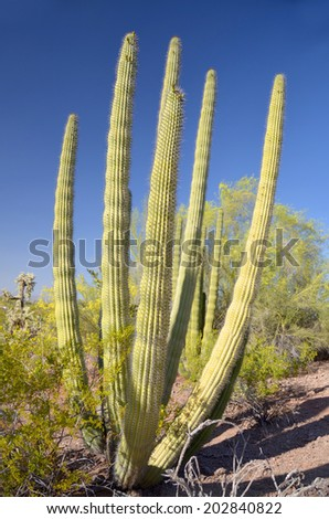 The Organ Pipe Cactus (Stenocereus thurberi) is a species of cactus native to Mexico and the United States. The species is found in rocky desert. - stock photo