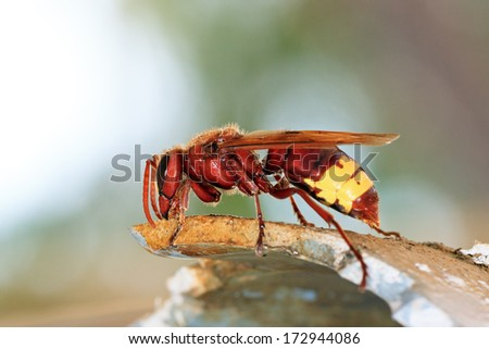 The Oriental hornet (Vespa orientalis), is a hornet which looks very similar to the European hornet - stock photo