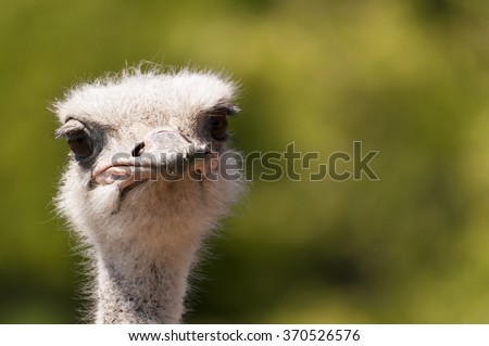 The Ostrich is one of the world??s largest, flightless, birds.  They can stand up to 9 feet tall, and when they run they can reach speeds of over 40 miles and hour.  - stock photo