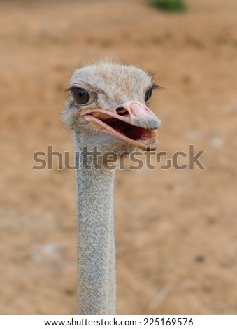 The Ostrich or Common Ostrich (Struthio camelus) is either one or two species of large flightless birds native to Africa