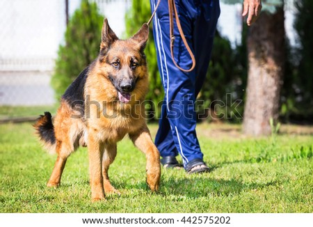 the owner is leaning his german shepherd dog in the garden outdoor - stock photo