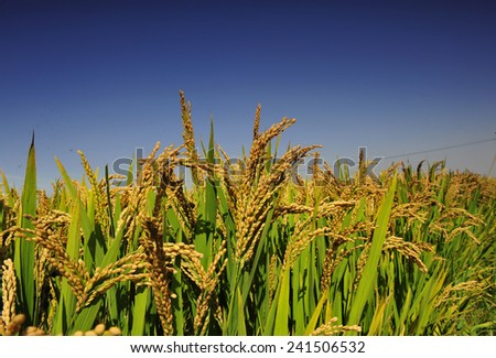 The paddy fields in the autumn  - stock photo