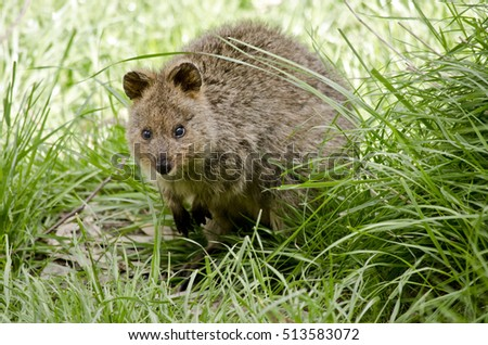 the pademelon is hiding in the long grass