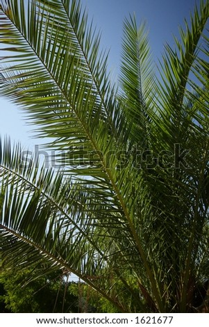 The palm (Phoenix Rupicola) and bright sky. Picture for vacations ideas