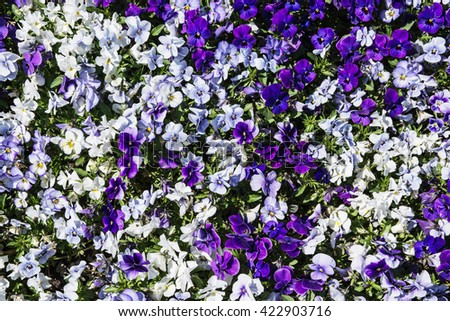 The pansy is a group of large-flowered hybrid plants cultivated as garden flowers. Purple pansies in the garden. Beauty in nature. Flower bed. Natural background.