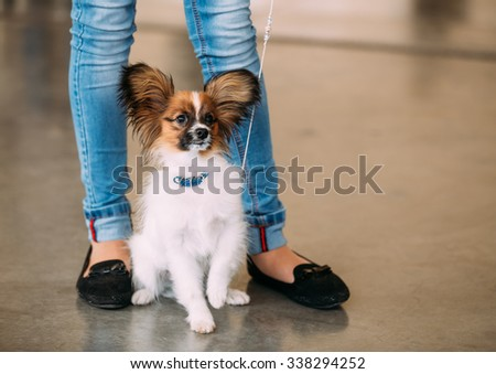 The Papillon dog also called the Continental Toy Spaniel, is a breed of dog of the Spaniel type. Butterfly-like ears - stock photo