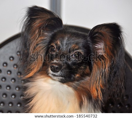 The Papillon is one of the oldest of the toy spaniels, it derives its name from its characteristic butterfly-like look of the long and fringed hair on the ears. The muzzle is somewhat short.
