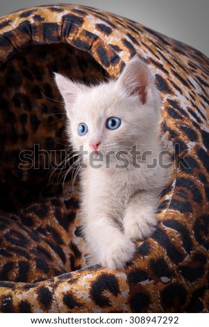 The peach kitten sits in a leopard  small house  - stock photo