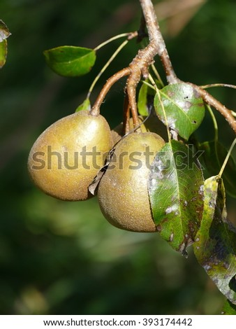 The Pear Winter nellis is very good late eating pear with excellent storage. Small green fruit with reddish russet patches and buttery, rich flavoured flesh. Very hardy but best with warm site. - stock photo