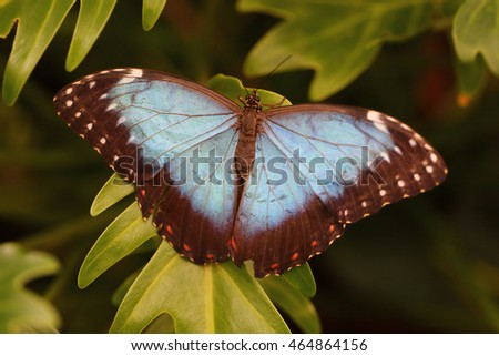 the Peleides Blue Morpho butterfly from Central or South America.