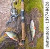 the perch fish from the forest lake - stock photo