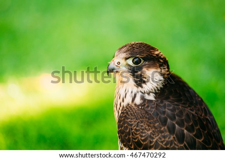 The peregrine falcon (Falco peregrinus), also known as the peregrine, and historically as the duck hawk in North America, is a widespread bird of prey in the family Falconidae.