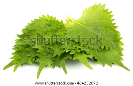 The perilla leaves, also known as shiso leaf, oba leaf or beefsteak plant over white background