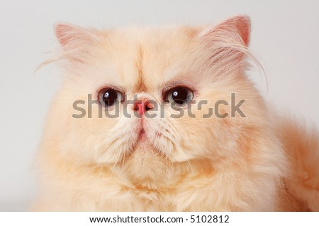 The persian cat of cream color - stock photo