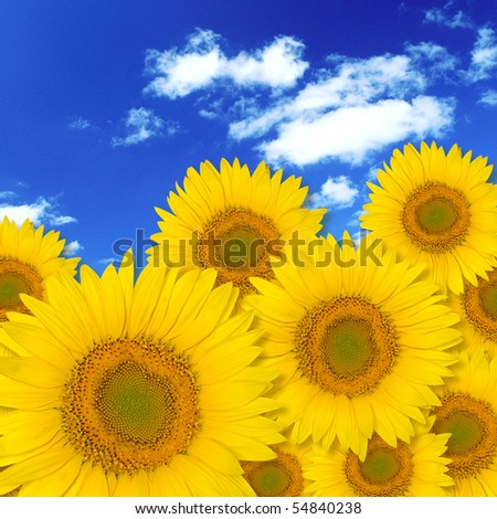 The petals close-up Beautiful Sunflower Under the blue sky - stock photo