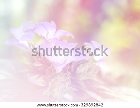 The philippine violet flower a color adjustment in soft style for background
