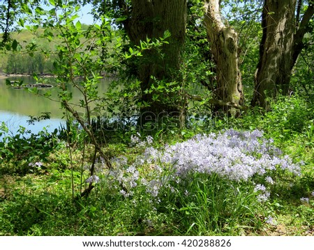 The Phlox divaricata flowers in forest on the banks of the Potomac River near Washington DC, 20 April 2016 USA                                     - stock photo