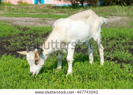 the photograph depicted a goat sitting on the grass