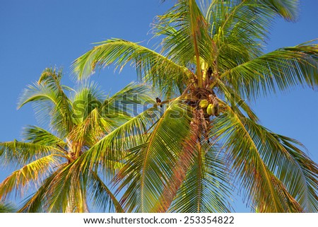 The photography shows only the tops of palm trees with coconuts against the azure sky, and a small black bird sitting at one of the branches - stock photo