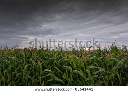 The picture shows a cornfield and rain clouds. - stock photo