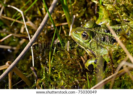 The picture shows a green frog.