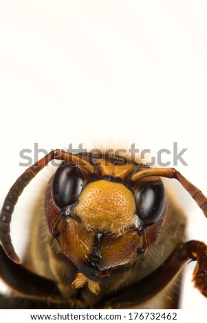 The picture shows a hornet in close-up. - stock photo