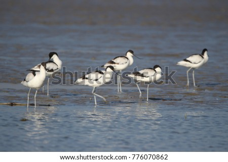 The pied avocet is a large black and white wader in the avocet and stilt family, Recurvirostridae.