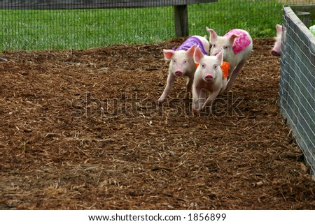 The pig race - stock photo