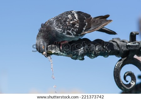 the pigeon drinks water from the fountain
