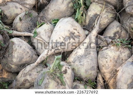 The pile of sugar beet - stock photo