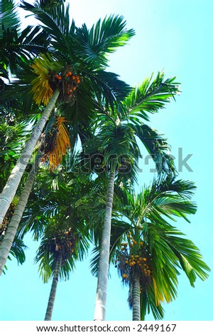 The Pinang Palm or the Betel Palm (Areca catechu). Betel nut, also known as Pinang or Areca nut, is the seed of the Pinang Palm. Chewing betel nuts is cultural activity in many Asian countries. - stock photo