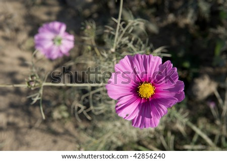The pink flower (Coreopsis) grow from gray ground - stock photo