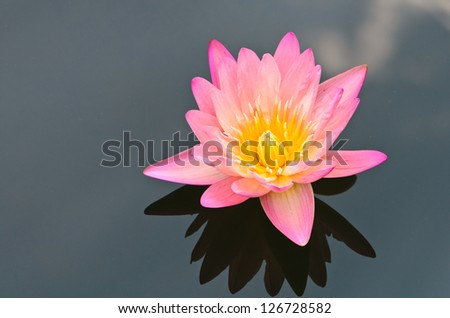 The pink lotus flower in the peaceful pond.