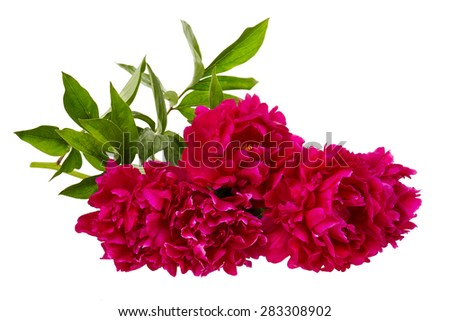 The pink peony on white background. - stock photo