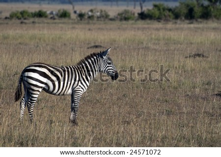 The Plains zebra (Equus quagga burchellii), standing in savanna, side view, Masai Mara National Reserve - stock photo