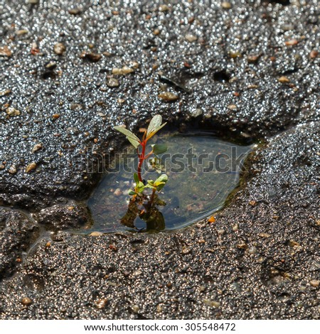 the plant breaks through a thick layer of asphalt - stock photo