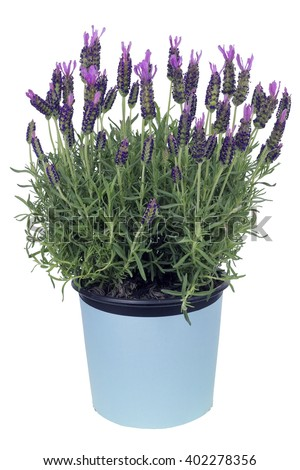 The plant bush a lavender in pot is prepared for landing in soil. Isolated on while