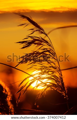 The plant reed close-up on  background of sunset sky - stock photo