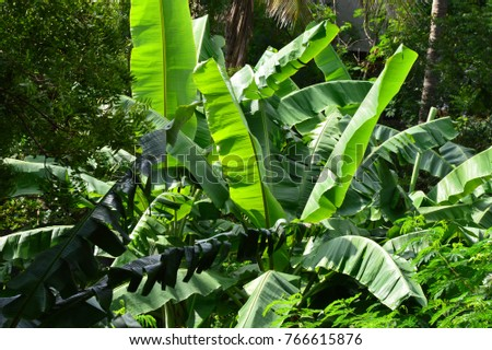 how to grow plantain tree