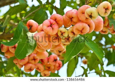 The plentiful rose apple. - stock photo
