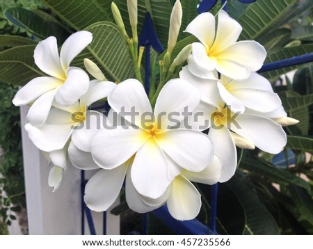 The plumeria selective focus