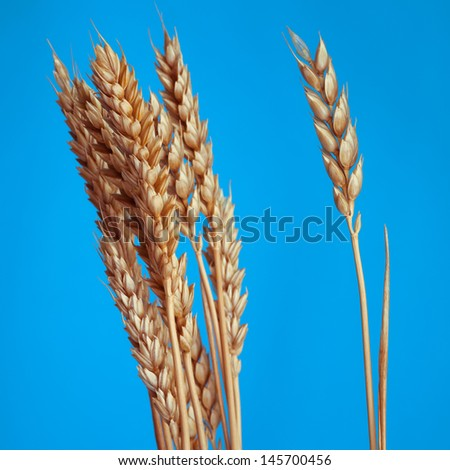 The Poaceae. Wheat is one of the first cereals known to have been domesticated. - stock photo