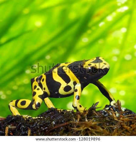 The poison dart frog Dendrobates leucomelas in a rainforest. Close up with shallow DOF. - stock photo