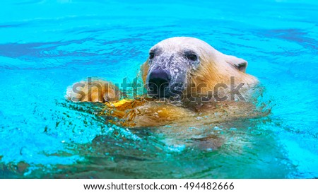 the polar bear looks into the camera. Swim in the turquoise waters