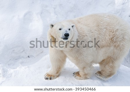 The polar bear on the snow