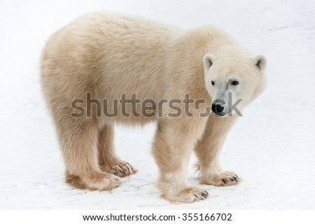 The polar bear (Ursus maritimus) . Large male polar bear on Arctic tundra. - stock photo