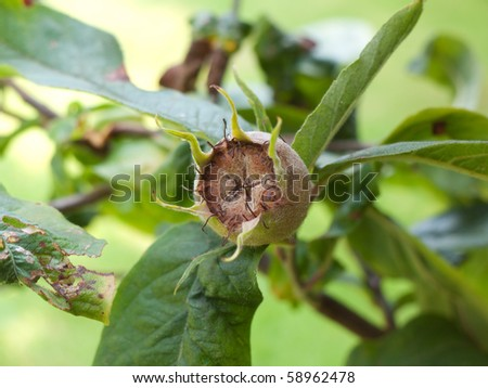 The pome of fruit of the Common Medlar - stock photo